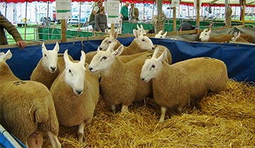 Border Leicester Sheep for Sale