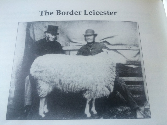 Dishley-Border Leicester Sheep