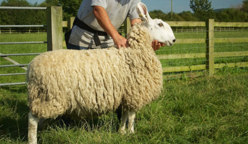 Border Leicester shearling ewe for sale